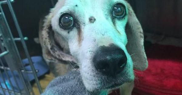 Lumpy 14 Year Old Beagle Needs A Foster Home Animal Rescue