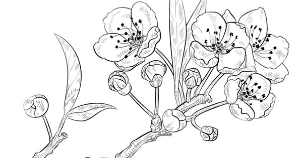 how to draw a cherry blossom  stepstep drawing