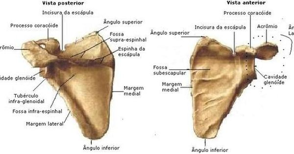 Anatomia Humana Musculos Musculos Articulacoes Ossos E