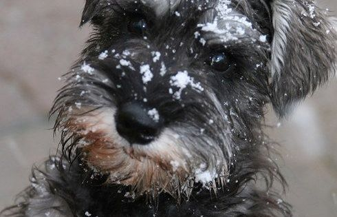 Schnauzer Snow Mini Schnauzers Pinterest Snow Dog