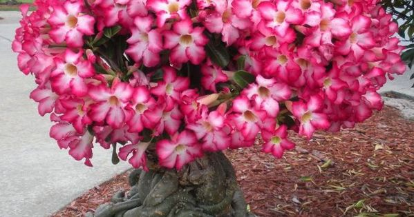 Beautiful Tropical Plants | Adenium is a tropical plant known for its