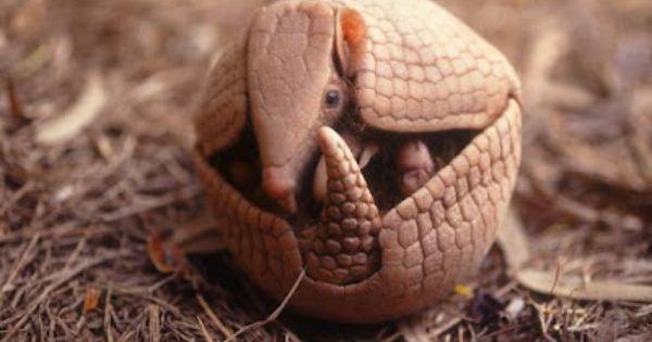 Tatu Bola Animal Brasileiro Ameacado De Extincao Imagem Google