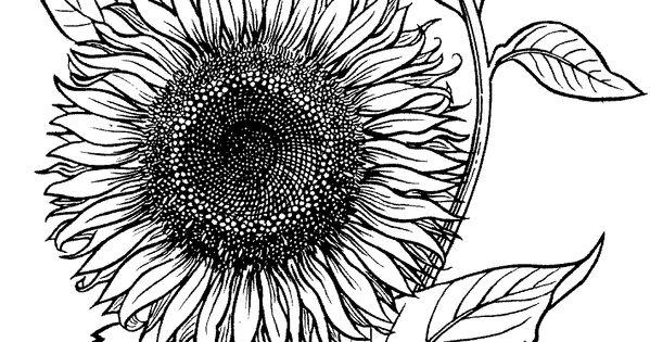 blühende sonnenblume  super coloring  zencolorz