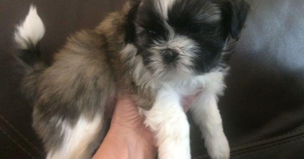 Shih Tzu Puppy For Sale In Ogden Ut Adn 32500 On Puppyfinder Com