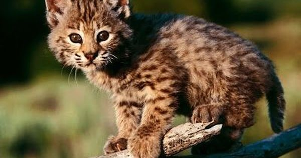 Kodkod Cat Google Search Baby Wild Animals Baby Animals Pictures Cute Wild Animals