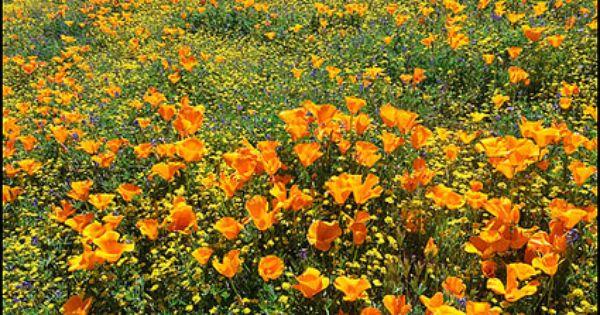 spring wildflowers in antelope - photo #33
