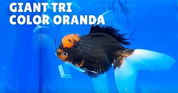 Tri Color High Quality Giant Oranda Koi For Sale Philippines Goldfish Types Koi For Sale Fish Pet