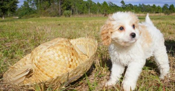 Looking For A Cavapoo Puppy Florida Pups Is A Breeder With