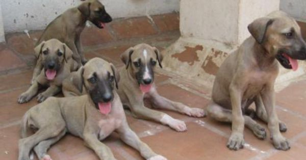 Chippiparai Dogs Indian Greyhound Sighthound Dogs Dog Love