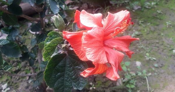 How To Grow Hibiscus Guhal From Cuttings Hindi Plant Cuttings Flowers Growing Flowers