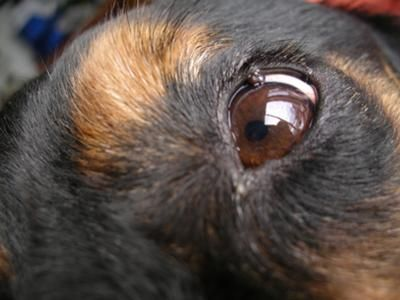 Pictures Of Cancerous Warts On Dogs
