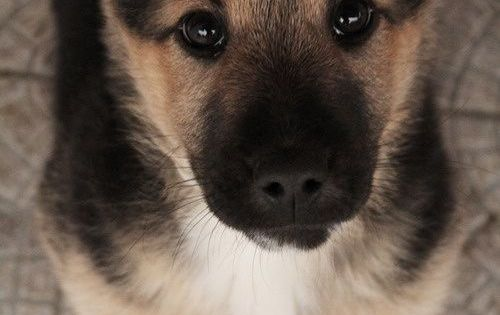 How can you resist puppy eyes? Especially German Shepherd puppy eyes..