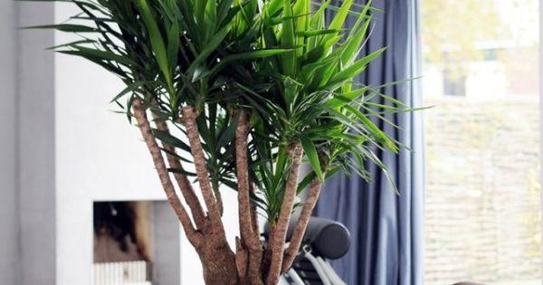 Plante D 39 Int Rieur Yucca Elephantipes Id Al Pour La