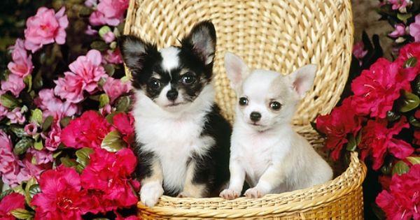 Chihuahuas Cute Chihuahua Chihuahua Animals