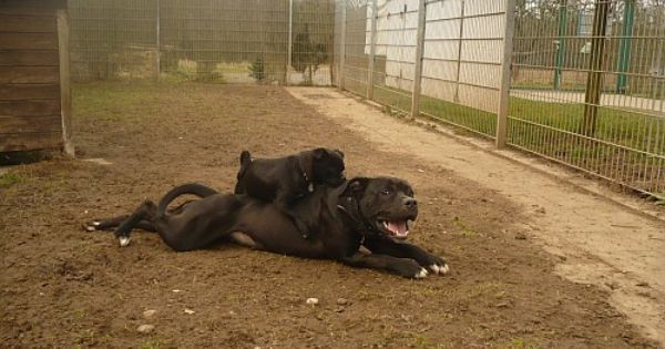 Puppi Amstaff 3 Jahre Mit Chihuahua Kumpel Sportlich Wartet