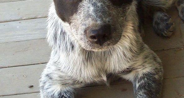 Australian Cattle Dog Cross Border Collie Acd Blue