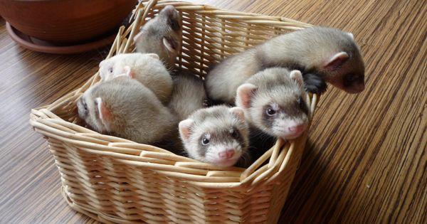 a basket of baby ferrets! ferrets Pinterest Babies