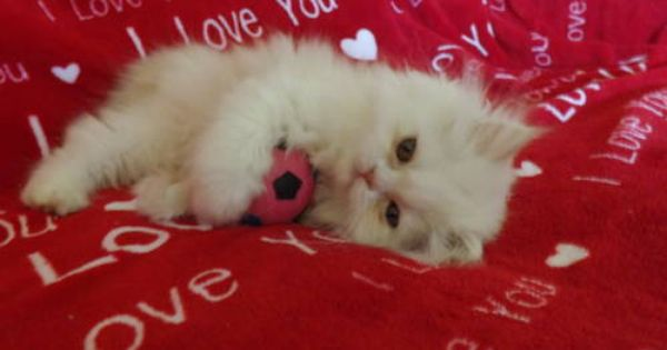 Very Cute Cfa Registered Persian Kittens For Sale Persian Kittens Kitten For Sale Kittens