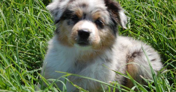 Miniature Australian Shepherd Puppies Miniature Australian