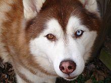 Siberian Husky Wikipedia The Free Encyclopedia Husky Dog