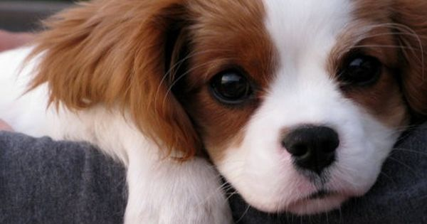 king charles cavalier dog puppy cute animals Sooooo cute!