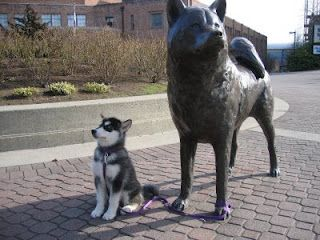 Dubs The University Of Washington S Mascot As A Puppy Outside