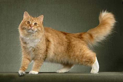 Siberian Cat Pictures Personality And How To Care For Your Siberian Cat Siberian Cat Cat Breeds Purebred Cats