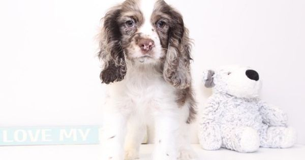Cocker Spaniel Puppy For Sale In Naples Fl Adn 29591 On Puppyfinder Com Gender Male Age 13 Cocker Spaniel Puppies American Cocker Spaniel Puppies For Sale