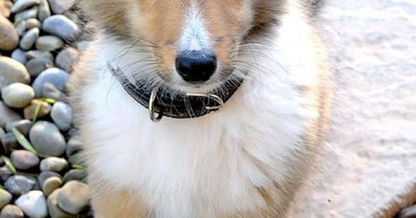 So cute ..... Sheltie puppy