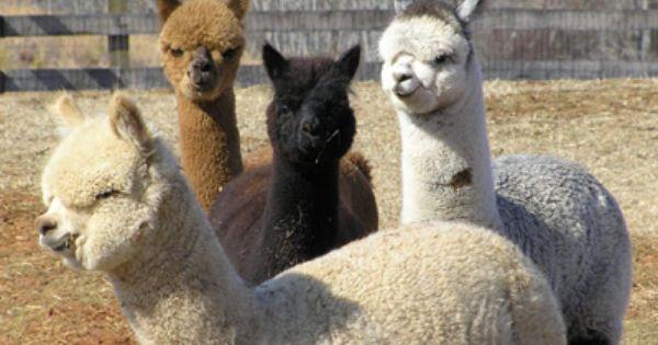I Love Llamas It Can T Be Helped Alpaca Animals Llama Alpaca