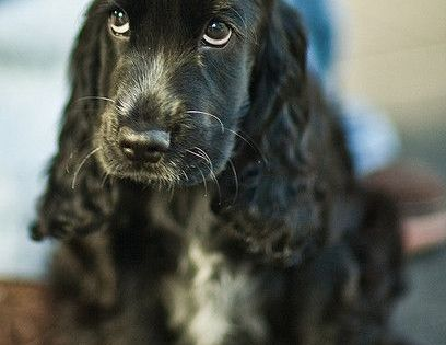 Pin By Xeno Phrenia On Oh I Like That 11 In 2020 With Images English Cocker Spaniel Puppies Cocker Spaniel Puppies Spaniel Puppies