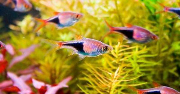Purple Harlequin Rasbora Trigonostigma Heteromorpha Tropical Freshwater Fish Freshwater Aquarium Fish Beautiful Fish
