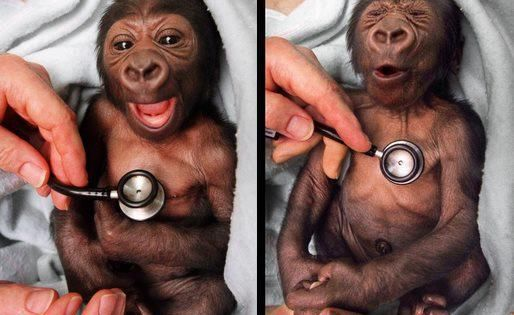 A newborn baby gorilla at the Melbourne Zoo gets a checkup at
