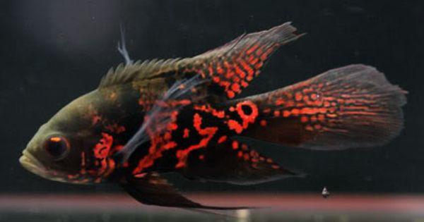 Little Veil Tail Tiger Oscar They Grow Into Their Tails As Adullts Oscar Fish Tiger Oscar Fish Cichlids
