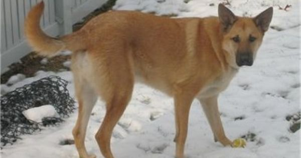 Chinook Puppies For Sale In Any Us State Dog Breeds Chinook Dog Dogs