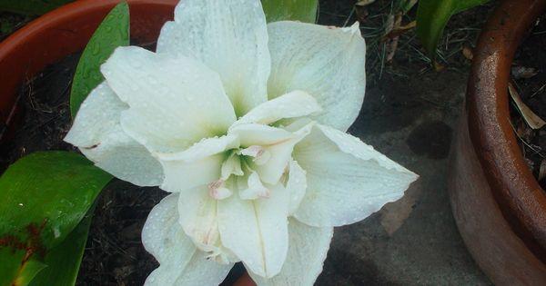 Azucena doble blanca flores de mi jardin pinterest for Azucena plantas jardin