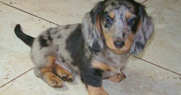 Our Long Haired Dappled Dachshund Woodie Daschund Puppies Dapple Dachshund Cute Puppies