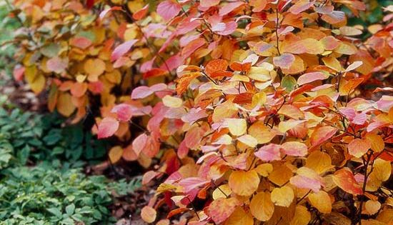 Fothergilla ~ A wonderful but underused shade-loving shrub, fothergilla offers blue-green foliage