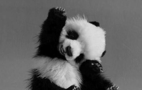 Hi-Five! Baby Panda Baby Animals cute baby Animals| http://cutebabyanimals861.blogspot.com