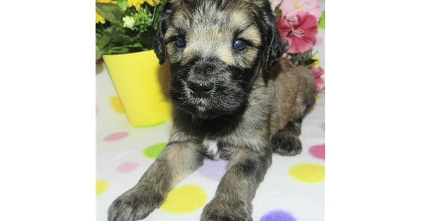 Labradoodle Puppy For Sale Bowie F1b Labradoodle 3640d837 D1e1 F1b Labradoodle Labradoodle Labradoodle For Sale