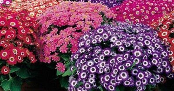 20 Cineraria Amigo Hybrid Flower Seeds Under The Sun Seeds Flower Seeds Shade Flowers Plants