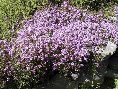 Ed S Favorites Creeping Thyme Evergreen Plants Creeping Thyme Plants Uk
