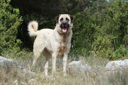 Beim Anatolischen Hirtenhund Gibt Es Insgesamt Vier Typen Den Akba Kangal Karaba Und Den Kars Hund Anatolischer Hirtenhund Hirtenhund Kangal Hund