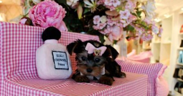 Teacup Yorkie Puppy For Sale In Indiana Yorkie Puppy Teacup