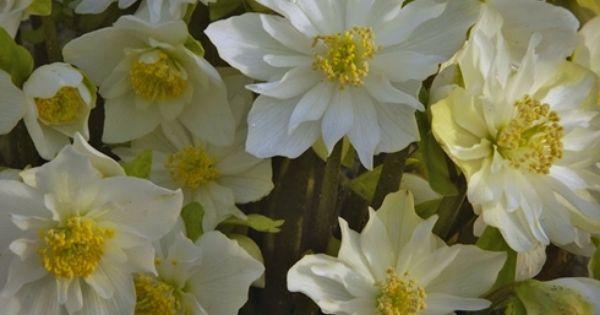 Helleborus Niger Double Fashion Ppaf Dry Shade Plants Drought Resistant Plants Shade Tolerant Plants