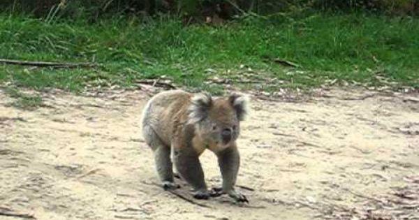 Angry Koala Koala Cute Animals Koala Bear