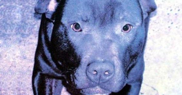 Dangerous Dog Killed Despite Pleas Dangerous Dogs Pitbulls Old Pug