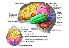 Cerebro Del Cuerpo Humano Señalando Sus Partes Principales