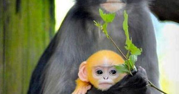 Dusky Leaf Monkey mother and child. O dear @Nyki Tews Sulek