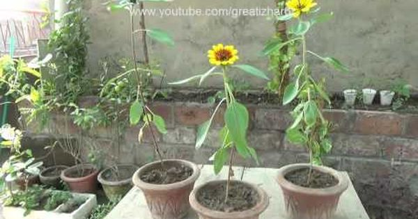 How To Grow Red Sunflowers From Seeds Planting A Sunflower November Red Sunflowers Plants Growing Sunflowers